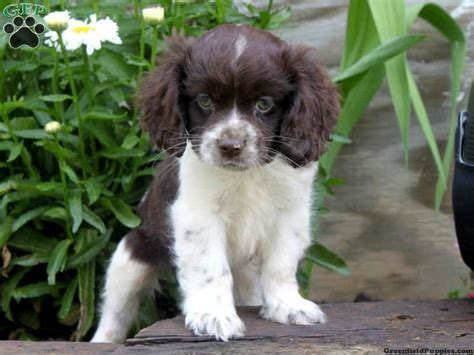 springer spaniel puppies for sale in pa as 25 melhores ideias de spaniel puppies no cavalier king charles spaniel