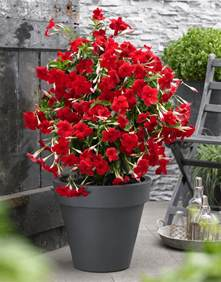 Fall Flowers For Window Boxes - sundaville grand red world s no 1 mandevilla dipladenia
