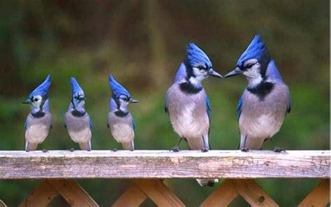 the blue jay family birds pinterest