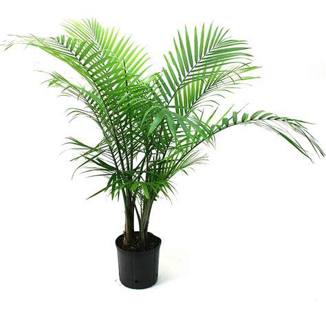 indoor plants  purifies  air naturally pretoria