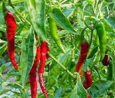 Pupuk Bunga Cabai penyakit pada tanaman cabai cara menanam tanaman