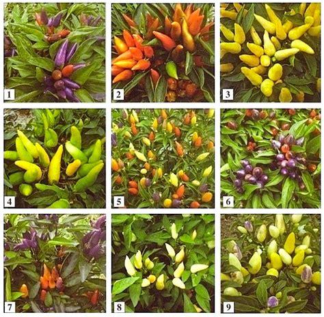 pianta di peperoncino in vaso coltivazione peperoncino la guida per non fallire