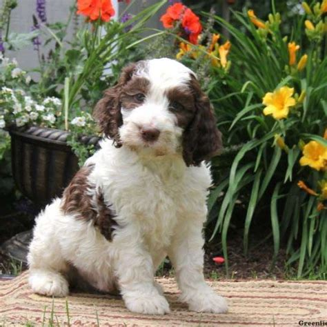 springerdoodle puppies for sale 25 best ideas about mini poodles on poodle cuts poodle puppies and