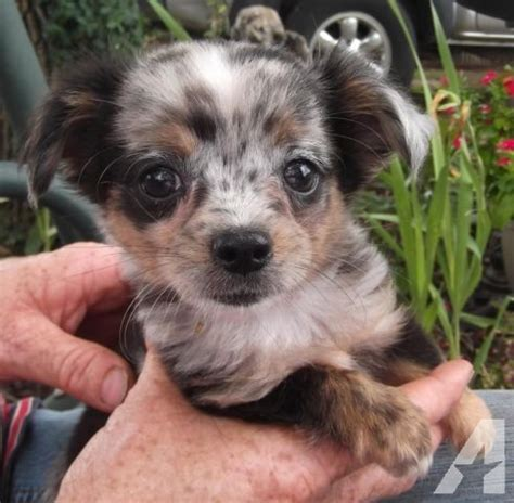 merle chihuahua puppies chihuahua blue merle puppy haired aca reg utd for sale in afton