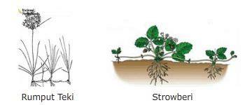 reproduksi  perkembangbiakan vegetatif  tumbuhan biji