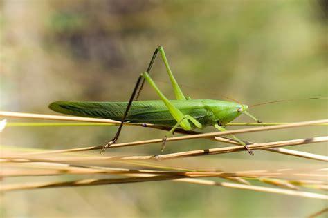 imagenes de grillos verdes naturaleza aragonesa ort 243 pteros grillos saltamontes