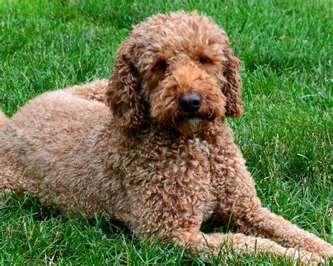 doodle pet rescue labradoodle goldendoodle pet adoption