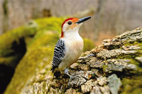 wild birds unlimited photo share red bellied woodpecker
