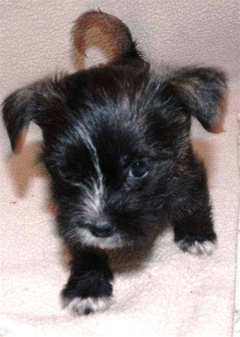 maltese poodle shih tzu mix baby pups shih tzu maltese poodle mix maltese pups
