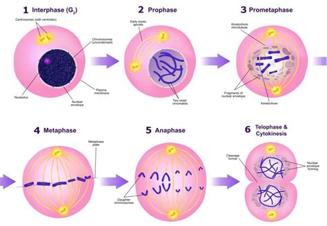 diagram of interphase phases of mitosis diagram www pixshark images
