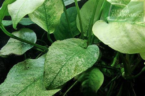 Anubias Panda 4 anubias barteri var caladiifolia quot panda quot московские аквариумные растения