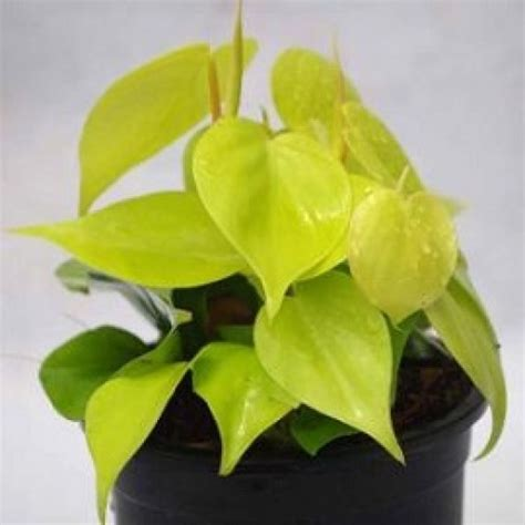 jual tanaman sirih belanda aureum hp