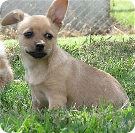 pomeranian rescue ct adopted puppy southington ct pomeranian border terrier mix
