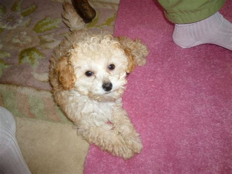apricot miniature poodle puppies for sale poodles for adoption breeds picture