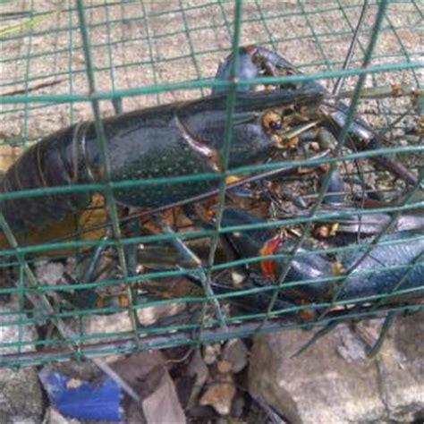 Udang Laut Size 48 50 supplier makanan laut lat lobster air tawar supplier