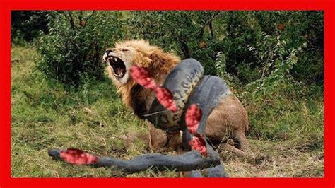 imagenes bellas e impactantes anaconda gigante vs jaguar pit 243 n vs tigre vs leopardo