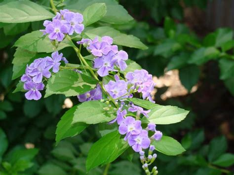 duranta erecta skyflower golden dew drop pigeon berry