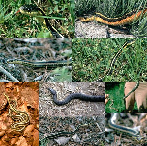 Garter Snake Recipe Garter Snake Recipe 28 Images Snakes Pictures Care