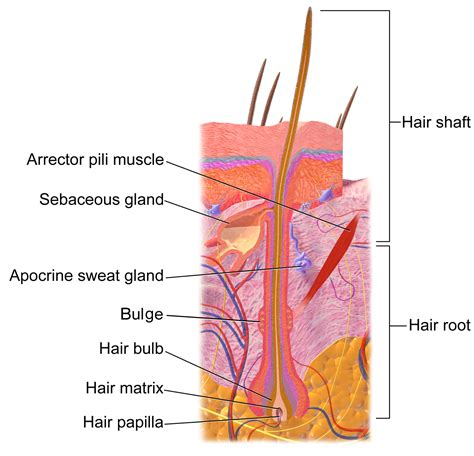 hair diagram how hair grows understanding keratin permanence