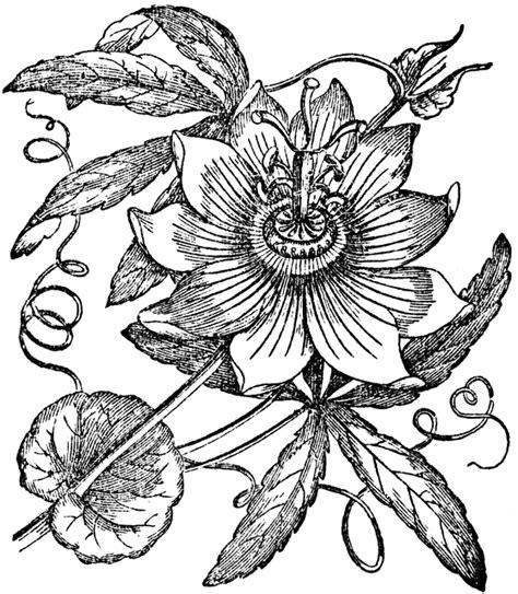 passionflower clipart etc