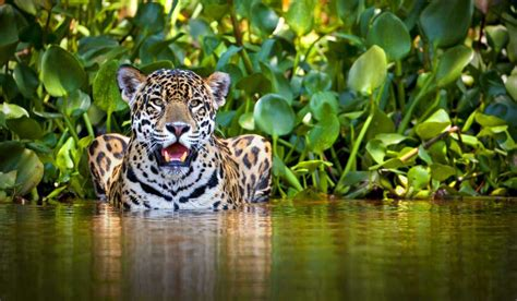 imagenes jaguar you the meaning and symbolism of the word 171 jaguar 187
