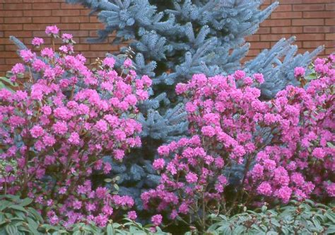 shade tolerant flowering shrubs 17 best images about shrubs shade tolerant on