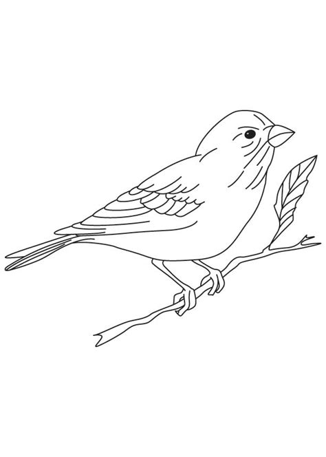 yellow finch coloring page zebra finch colouring pages