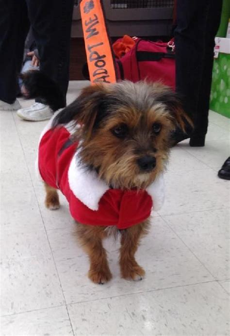 yorkie corgi is a yorkie corgi mix that weighs about 10 lbs and will be 1 year