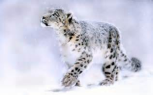 Snow leopard wallpapers hd pictures one hd wallpaper pictures