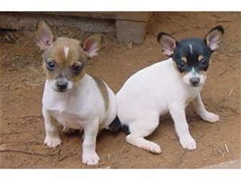 rat terrier puppies for sale rat terrier puppies for sale