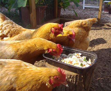 the 25 best backyard chickens ideas on