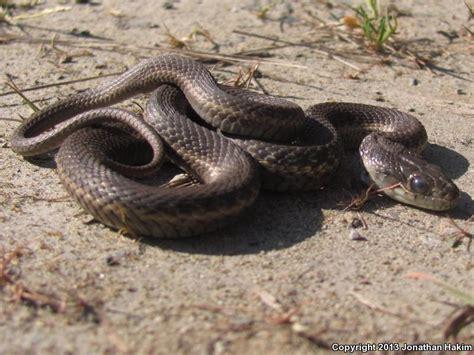 Garden Snake Oregon Field Herp Forum View Topic Salamanders And