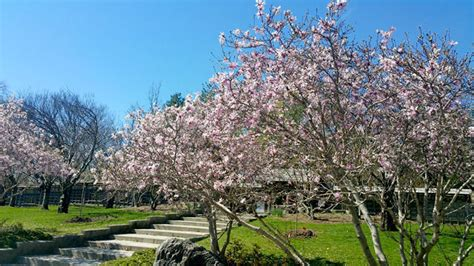 heres   cherry blossoms  start blooming