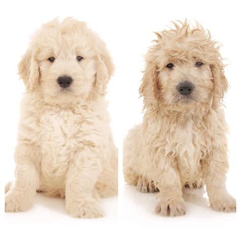 goldendoodle puppy care tips grooming tips teddybear goldendoodles smeraglia
