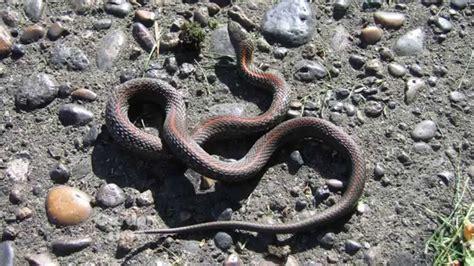 Garden Snake Vs Rattlesnake Garden Snakes
