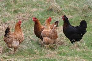 Keeping Free Range Chickens In Your Backyard Dayle S Community Caf 233 Local Mobile Poultry Processing Unit Mppu