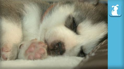puppy twitching while sleeping baby husky puppies dreaming and twitching while sleeping puppy