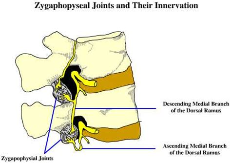 Joint City Z zygapophyseal joint