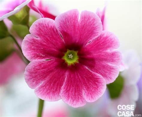 primula fiore primula obconica cose di casa