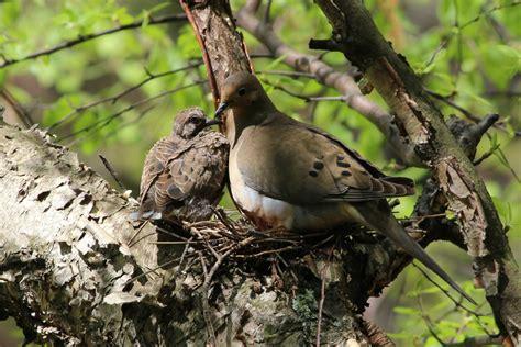 backyard birds matthews nc morning dove backyard birds the bird food store matthews nc