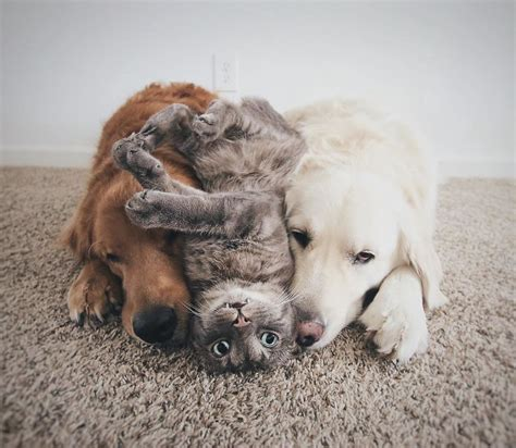 two dogs and a cat meet three best friends two dogs and a cat who doing everything together