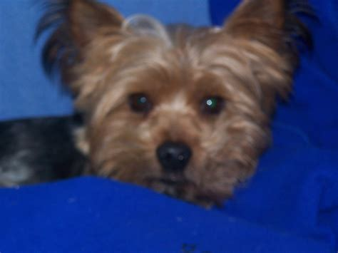 teacup yorkie rescue teacup yorkie puppies free adoption lovely looking outstanding teacup pets world