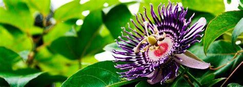 fiore frutto della passione il frutto della passione tutto quello c 232 da sapere
