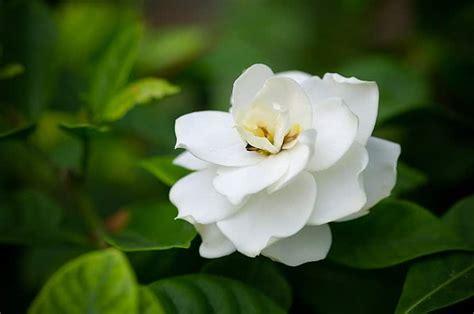 grow gardenias indoors top care tips smart