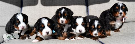 3 week puppy current litter wcc s bernese mountain puppies