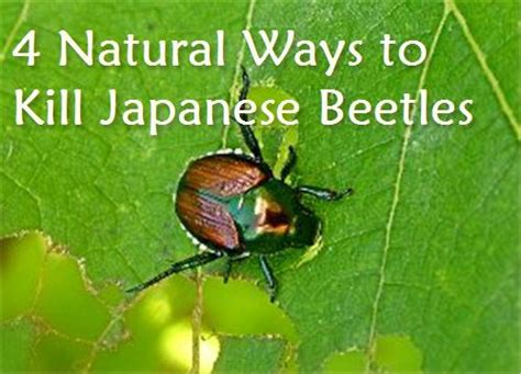 condo blues 4 natural ways to kill japanese beetles