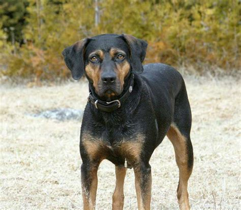 Catahoula Shedding by Catahoula Pictures
