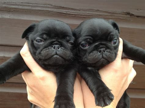 dogs pugs for sale 3 black pug puppies for sale norfolk pets4homes