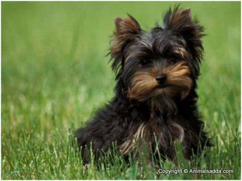 what is the average lifespan of a yorkie terrier puppies pictures facts temperament information animals adda