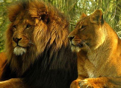 imagenes leones peleando dibujos de leones peleando imagui
